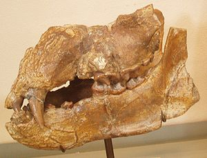 Bear - Plithocyon armagnacensis skull, a member of the extinct subfamily Hemicyoninae from the Miocene