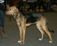 Plott Hound at a show.jpg