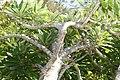 Plumeria rubra 5zz.jpg
