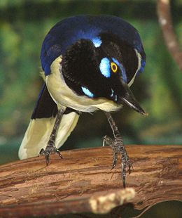 Plush Crested Jay 2.jpg