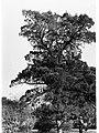 Podocarpus Aefinis, Botanic Gardens(GN12761).jpg