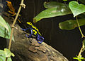 Poison arrow frogs (4334188248).jpg