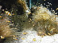 Poissons Clown en aquarium.JPG