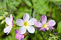 Polemonium caeruleum Apricot Delight 2zz.jpg