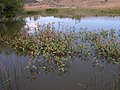 Polygonum coccineum habitat plants-6-29-05.jpg