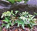 Polypodium scouleri 1.jpg