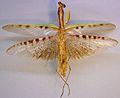 Polyspilota aeruginosa TPopp.jpg