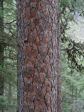Pinus ponderosa - Pinus ponderosa in Idaho
