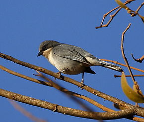 Description de l'image Poospiza cinerea - Cinereous warbling-finch.JPG.