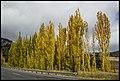 Poplar Trees falling leaves-8 (17168281317).jpg