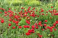 Poppies in Kfar Nin, Israel 04.jpg