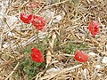Poppies in a cut cornfield, near Bledlow - geograph.org.uk - 37029.jpg