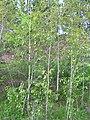 Populus balsamifera 1 (5097493729).jpg