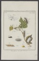 Porthesia - Print - Iconographia Zoologica - Special Collections University of Amsterdam - UBAINV0274 003 05 0019.tif