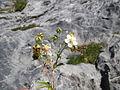 Potentilla alchemilloides (9710380697).jpg