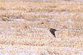 Prairie Falcon (6844017779).jpg