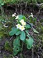 Primrose in Fridhill Wood - geograph.org.uk - 386754.jpg