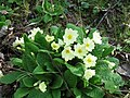 Primroses beside the track, College Lake - geograph.org.uk - 1226738.jpg