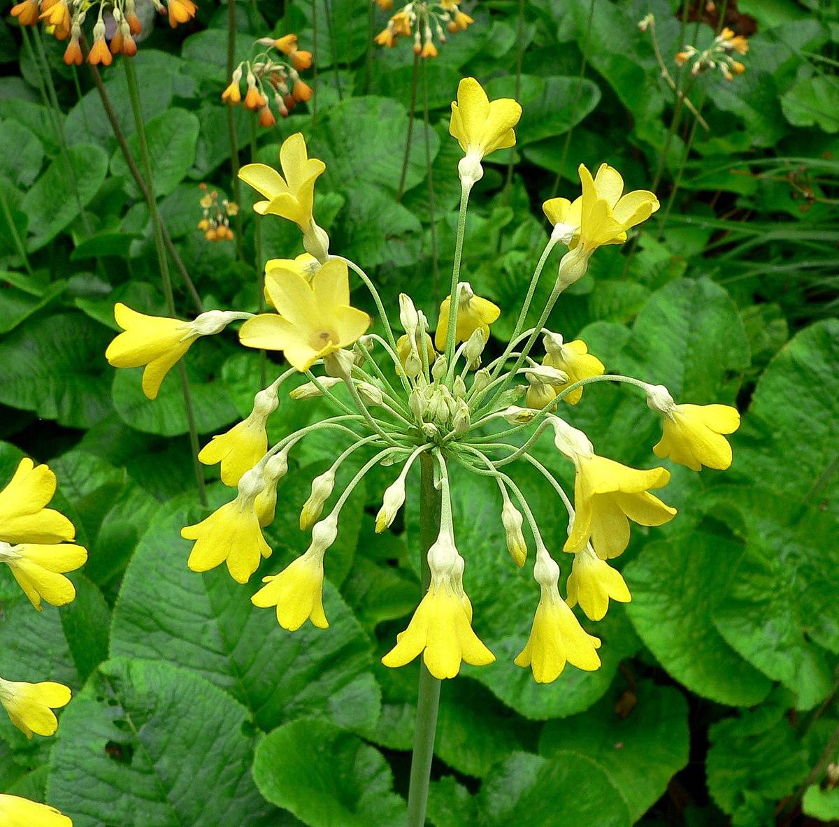 Primula florindae wikipedia for Primule immagini