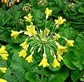 Primula florindae inflorescence.jpg