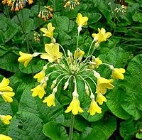 Primula florindae inflorescence