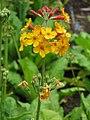 Primulaceae 009.JPG
