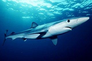 Blue shark species of fish
