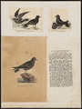 Procellaria pelagica - 1700-1880 - Print - Iconographia Zoologica - Special Collections University of Amsterdam - UBA01 IZ17900037.tif