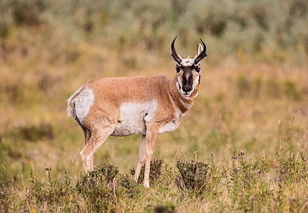 Pronghorn in Yellowstone National Park, Wyoming, USA