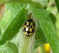 Propylea 14-punctata. Coccinellidae - Flickr - gailhampshire (3).jpg