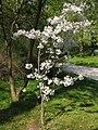 Prunus serrulata4.jpg