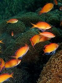 Pseudanthias dispar (Redfin anthias)