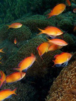 Pseudanthias dispar (Redfin anthias).jpg