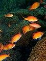 Pseudanthias dispar (Redfin anthias).jpg
