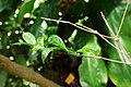 Psilanthus mannii-Jardin botanique Meise (3).jpg