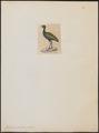 Psophia viridis - 1820-1860 - Print - Iconographia Zoologica - Special Collections University of Amsterdam - UBA01 IZ17300059.tif