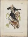 Ptilornis paradisea - 1820-1860 - Print - Iconographia Zoologica - Special Collections University of Amsterdam - UBA01 IZ16100063.tif