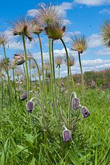Pulsatilla in steppe.jpg