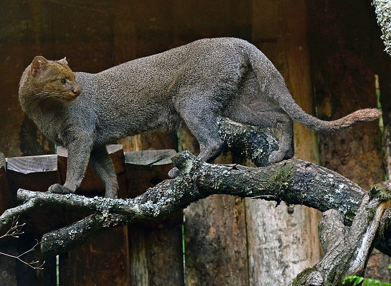 https://upload.wikimedia.org/wikipedia/commons/thumb/e/ea/Puma_yagouaroundi.jpg/800px-Puma_yagouaroundi.jpg