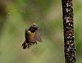 Purple-rumped Sunbird (Leptocoma zeylonica) bathing W IMG 7764.jpg