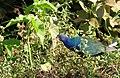 Purple Gallinule (Porphyrio martinica).jpg