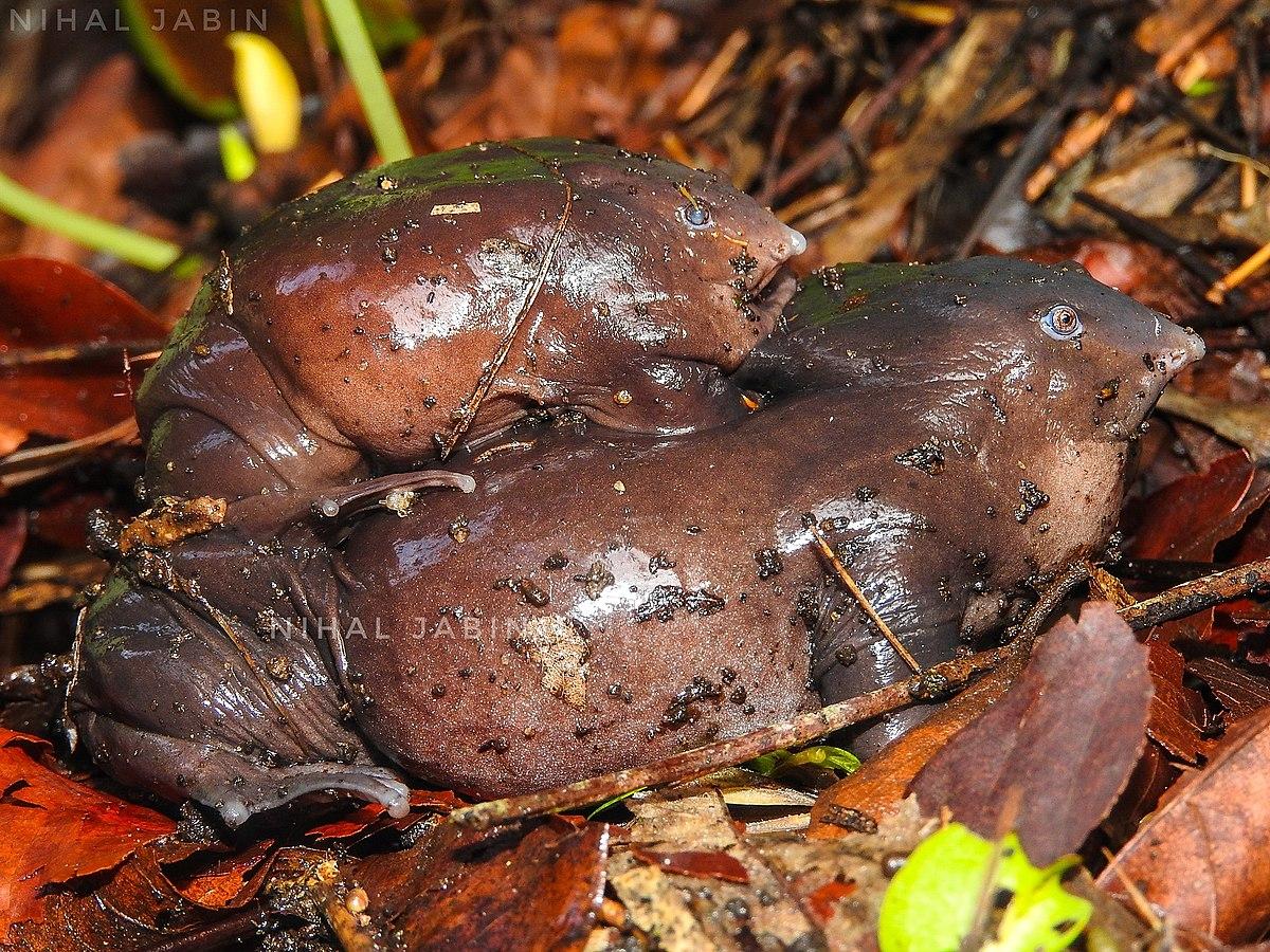 purple frog wikipedia