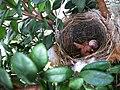 Pycnonotus jocosus (4735046164).jpg