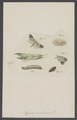 Pygaera - Print - Iconographia Zoologica - Special Collections University of Amsterdam - UBAINV0274 003 05 0059.tif