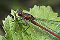 Pyrrhosoma nymphula-pjt2.jpg