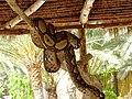Python réticulé à Djerba Explore.jpg