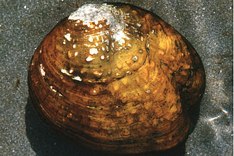 Mississippian culture pottery - A Quadrula intermedia, a species of freshwater mussel, endemic to the US