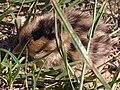 Quail chick 01.jpg