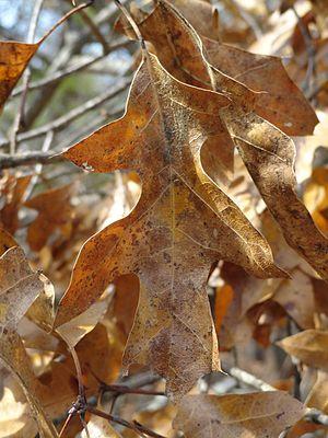 Quercus georgiana - Brown winter leaves on Georgia oak