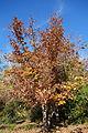 Quercus mongolica - Quarryhill Botanical Garden - DSC03701.JPG